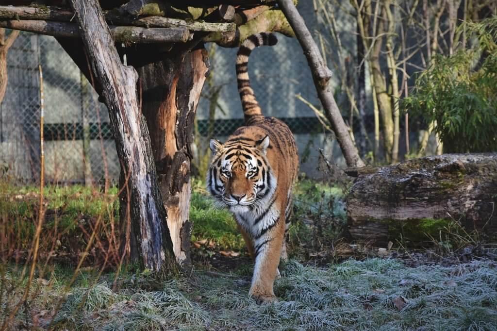 Тигровый зоопарк Самуи